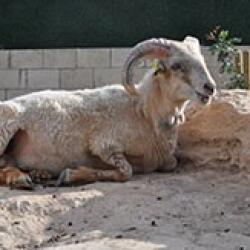 Limassol Zoo Aries