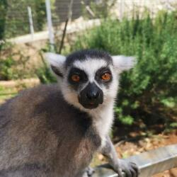 Pafos Zoo Ring Tailed Lemur