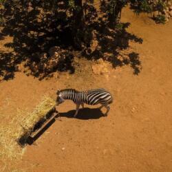 Pafos Zoo Zebras