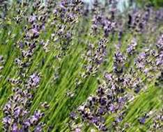 Lavender Festival 2017  - Cyherbia Botanical Park